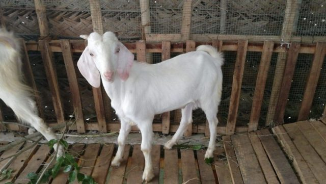 Tellicherry Goat Characteristics - Growth rate, Milk Yield