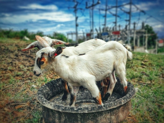How to start a profitable Goat Farming business | Learn