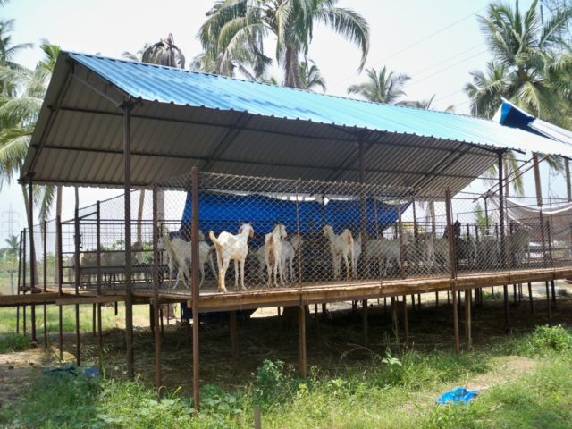 elevated goat shed, goat shed, goat house plan, simple goat house, cheap goat shed, cheap goat house, goat house india, goat shelter, goat farming, raise goats for profit, raise goats for milk, raise goats for meat, goat care, goat feed , start goat farm, meat goat farming, successful goat farm, goat grazing