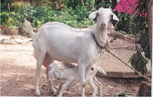 Goat Farming in Tamilnadu - Stall feeding and Breed