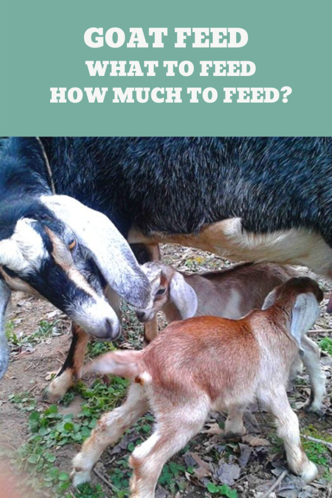 Goat Feed - What to feed and How much to feed?
