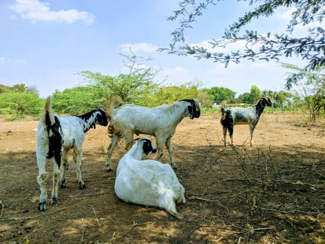 Commercial Goat Farming Business Plan | Learn Natural Farming