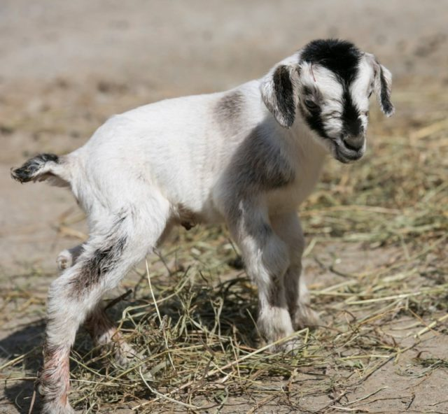 raising pygmy goats, raising pygmies, pygmy goat makes profit