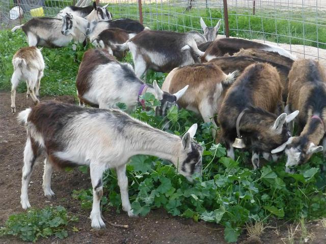Alpine Goat Breed Learn Natural Farming