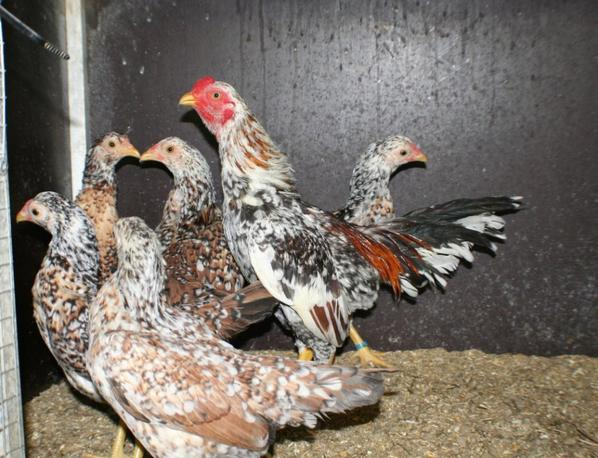 Asil Chickens, Aseel Chickens, Aseel, Asil, Asil Chicken Characteristics, Aseel hens, Asil Chicken , BANTAM ASIL, Malay Asil,Madras Asil, Kulang Asil, Reza Asil, Fantails, Asil Chicken Breed Classification, ASIL CHICKEN WEIGHT ,Asil fight