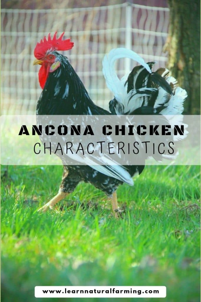 ancona chicken, ancona chicken eggs, ancona chicken facts, ancona chicken temperament, ancona chicken breed, ancona chicken friendly, ancona chicken good layers, ancona chicken wow, ancona chickens, ancona chicken photos, ancona chicken characteristics, ancona chicken behavior, ancona chicken color