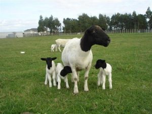 dorper sheep, dorper, dorper sheep for sale, dorper sheep facts, white dorper sheep, dorper sheep information, dorper ewes, dorper sheep food, dorper sheep origin, dorper sheep genetics, dorper sheep size, dorper sheep breeding cycle, dorper sheep management,dorper sheep, about dorper sheep, dorper sheep appearance, dorper sheep breed, dorper sheep breed info, dorper sheep breed facts, dorper sheep care, caring dorper sheep, dorper sheep color, dorper sheep characteristics, dorper sheep development, dorper sheep ewes, dorper sheep facts, dorper sheep for meat, dorper sheep for milk, dorper sheep for wool, dorper sheep history, dorper sheep horns, dorper sheep info, dorper sheep images, dorper sheep lambs, dorper sheep meat, dorper sheep origin, dorper sheep photos, dorper sheep pictures, dorper sheep rarity, raising dorper sheep, dorper sheep rearing, dorper sheep size, dorper sheep temperament, dorper sheep tame, dorper sheep uses, dorper sheep varieties, dorper sheep weight, dorper sheep wool