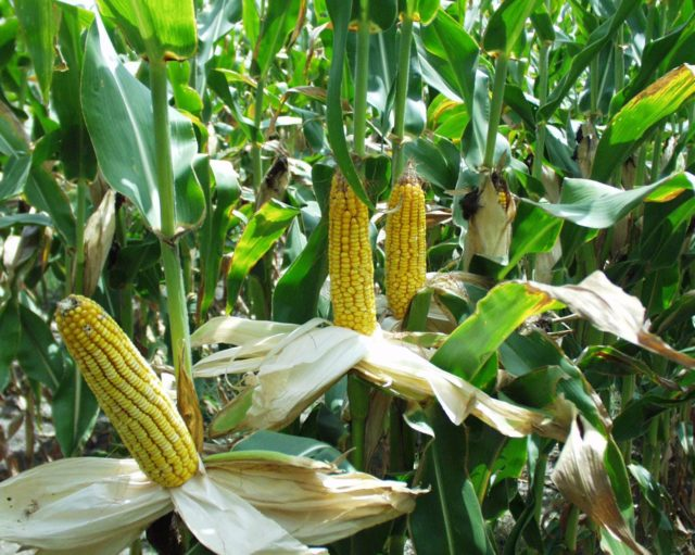 maize harvest, maize planting, maize planting season, maize weed control, maize manure, maize fodder, maize yield, corn yield, maize fodder crop, crop