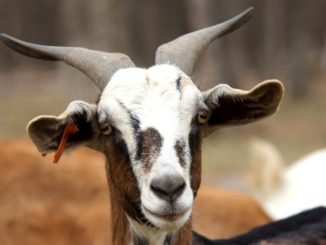 Alpine Goat Breed | Learn Natural Farming
