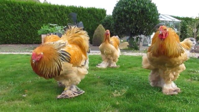 How Big Is A Brahma Chicken Learn Natural Farming