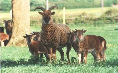 castlemilk moorit sheep, about castlemilk moorit sheep, castlemilk moorit sheep appearance, castlemilk moorit sheep breed, castlemilk moorit sheep breed info, castlemilk moorit sheep breed facts, castlemilk moorit sheep behavior, castlemilk moorit sheep care, caring castlemilk moorit sheep, castlemilk moorit sheep color, castlemilk moorit sheep characteristics, castlemilk moorit sheep development, castlemilk moorit sheep ewes, castlemilk moorit sheep facts, castlemilk moorit sheep for meat, castlemilk moorit sheep for wool, castlemilk moorit sheep farms, castlemilk moorit sheep farming, castlemilk moorit sheep history, castlemilk moorit sheep horns, castlemilk moorit sheep info, castlemilk moorit sheep images, castlemilk moorit sheep lambs, castlemilk moorit sheep lambing, castlemilk moorit sheep meat, castlemilk moorit sheep origin, castlemilk moorit sheep photos, castlemilk moorit sheep pictures, castlemilk moorit sheep rarity, raising castlemilk moorit sheep, castlemilk moorit sheep rearing, castlemilk moorit sheep size, castlemilk moorit sheep temperament, castlemilk moorit sheep tame, castlemilk moorit sheep uses, castlemilk moorit sheep varieties, castlemilk moorit sheep weight, castlemilk moorit sheep wool