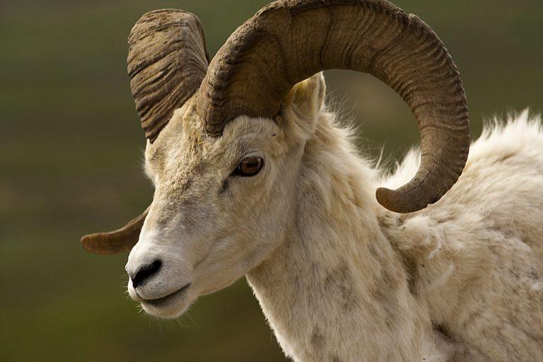 Male Sheep Called