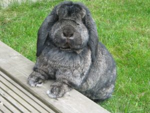 german lop rabbit, german lop rabbit size, german lop rabbit info, german lop rabbit information, german lop rabbit history, german lop rabbit breed, about german lop rabbit, german lop rabbit behavior, german lop rabbit temperament, german lop rabbit characteristics, german lop rabbit weight, german lop rabbit color, german lop rabbit photos, german lop rabbit lifespan, german lop rabbit breed info, german lop rabbit facts, german lop rabbit care, german lop rabbit life expectancy, german lop rabbit origin, german lop rabbit pictures, german lop rabbit personality