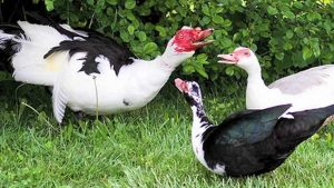 muscovy duck, muscovy ducks, about muscovy duck, muscovy duck as pet, muscovy duck aggressive, muscovy duck breed, muscovy duck behavior, muscovy duck breed info, muscovy duck breeders, muscovy duck breed profile, muscovy duck care, muscovy duck color, muscovy duck characteristics, muscovy duck call, muscovy duck color varieties, domestic muscovy duck, wild muscovy duck, muscovy ducklings, muscovy duck diet, muscovy duck eggs, muscovy duck egg size, muscovy duck egg weight, muscovy duck color, muscovy duck egg production, muscovy duck facts, muscovy duck food, muscovy duck for meat, muscovy duck female, muscovy duck growth, muscovy duck history, muscovy duck hatchery, muscovy duck hissing, muscovy duck info, muscovy duck information, muscovy duck images, muscovy duck incubation, muscovy duck incubation period, muscovy duck eggs incubation, muscovy duck eggs incubation period, muscovy duck juvenile, muscovy duck keeping, muscovy duck egg laying, muscovy duck meat, muscovy duck male, muscovy duck noise, muscovy duck origin, origin of muscovy duck, muscovy duck picture, muscovy duck photo, muscovy duck personality, muscovy duck pets, muscovy duck quack, muscovy duck quiet, raising muscovy ducks, muscovy duck rearing, muscovy duck rarity, muscovy duck size, muscovy duck sound, muscovy duck taste, muscovy duck temperament, muscovy duck uses, muscovy duck variety, muscovy duck weight