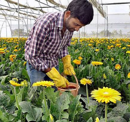 Gerbera cultivation polyhouse